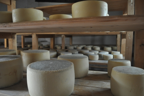 Pecorino sheep's milk cheese aging at the farm